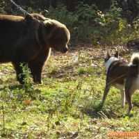 ...молодых охотничьих лаек по подсадному медведю и вольерному кабану.